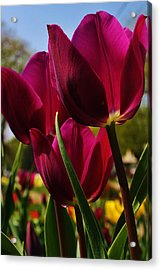 Tip Toe Through The Tulips Acrylic Print