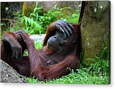 Tired Female Orangutan Ape Rests Against Tree With Hand On Her Head Acrylic Print