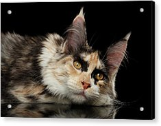 Tired Maine Coon Cat Lie On Black Background Acrylic Print