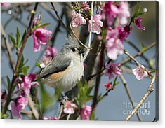 Titmouse And Peach Blossoms Acrylic Print