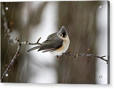 Titmouse During Snow Storm Acrylic Print