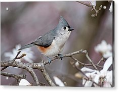 Acrylic Print featuring the photograph Titmouse Song - D010023 by Daniel Dempster