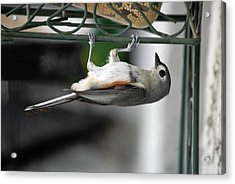 Titmouse Trickery Acrylic Print by DigiArt Diaries by Vicky B Fuller