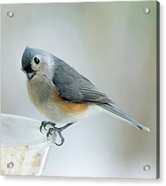 Titmouse With Walnuts Acrylic Print