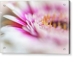 Acrylic Print featuring the photograph To Live In Dream 1. Macro Gerbera by Jenny Rainbow