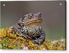 Toad Acrylic Print