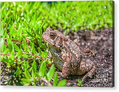 Toad In The Grass Acrylic Print by Randy Steele