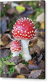 Toadstools In The Woods Vi Acrylic Print