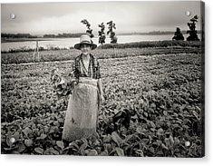 Tobacco Farm Acrylic Print