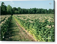 Tobacco In Flower Acrylic Print by Inga Spence
