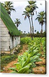 Tobacco Plantation Acrylic Print