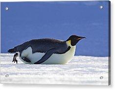 Tobogganing Emperor Penguin Acrylic Print