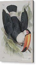 Toco Toucan Acrylic Print