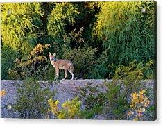Today's Coyote Acrylic Print