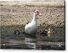 Toho Duck Family Acrylic Print by Jack Norton