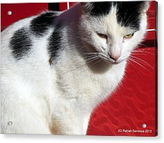 Tom Barn Cat  Acrylic Print