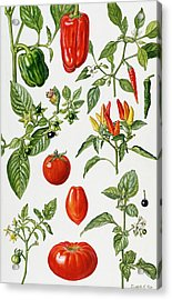 Tomatoes And Related Vegetables Acrylic Print by Elizabeth Rice