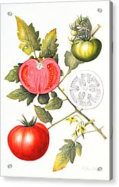 Tomatoes Acrylic Print by Margaret Ann Eden