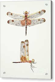 Top And Side Views Of A Male Calico Pennant Dragonfly Acrylic Print
