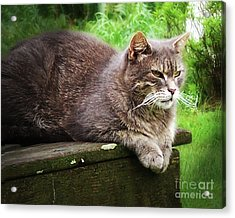 Top Cat Acrylic Print by Pete Hellmann