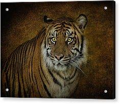 Topaz Tiger  Acrylic Print