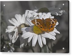 Topsail Butterfly Acrylic Print by Betsy Knapp