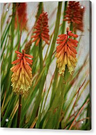 Torch Lily At The Beach Acrylic Print by Sandi OReilly