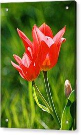 Toronto Tulip Acrylic Print by Steve Karol