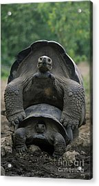 Acrylic Print featuring the photograph Tortoise Love - Galapagos by Craig Lovell
