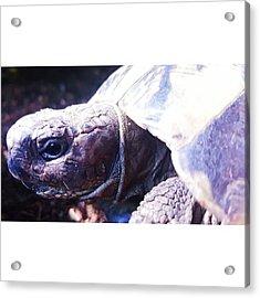 #tortoise #torts #sunbathing #basking Acrylic Print by Natalie Anne