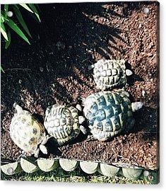 #torts #tortoise #sunbathing #shell Acrylic Print by Natalie Anne