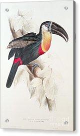 Toucan Acrylic Print by Edward Lear