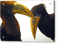 Toucan Play At That Game Acrylic Print by Jez C Self