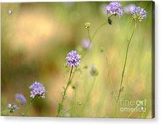 Touch Of Lavender Light Acrylic Print