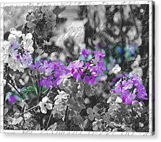 Touch Of Phlox Acrylic Print