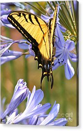 Touching Lilly Acrylic Print by Gail Salitui