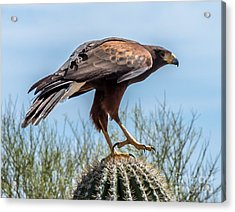 Tough Feet - Desert Hawk Acrylic Print by Leo Bounds