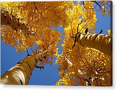 Acrylic Print featuring the photograph Towering Aspens by Perspective Imagery