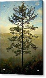 Towering Pine Acrylic Print