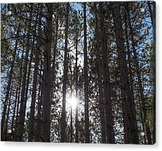 Towering Pines Acrylic Print
