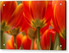 Acrylic Print featuring the photograph Towering Tulips  by Julie Andel