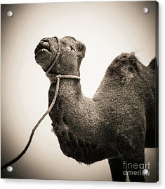 Toy Representing A Camel. Acrylic Print