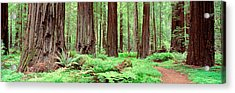 Trail, Avenue Of The Giants, Founders Acrylic Print