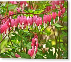 Trail Of Bleeding Hearts Acrylic Print