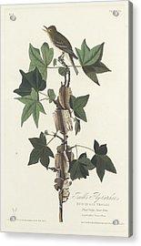 Traill's Flycatcher Acrylic Print