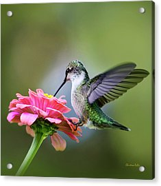 Tranquil Joy Hummingbird Square Acrylic Print by Christina Rollo