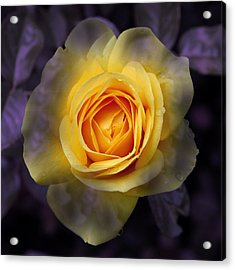 Transitional Rose Acrylic Print