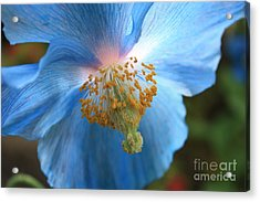 Translucent Blue Poppy Acrylic Print