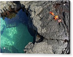 Transparent Waters And Volcanic Rocks With Sally Lightfoot Crabs Acrylic Print by Sami Sarkis