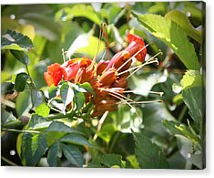 Tropical Trumpet Creeper Acrylic Print